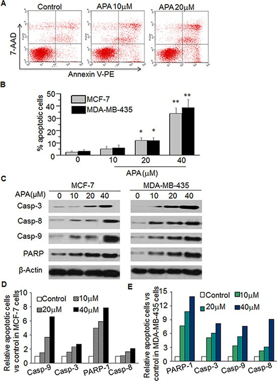 APA induced apoptosis by increasing expression of Casp-3,-8,-9 and PARPin MCF-7 and MDA-MB-435 cells ( A – B ) Effect of APA on apoptosis of MCF-7 cells. Cells were stained with Annexin V-PE and the apoptotic cells were analyzed with flow cytometry. (A) is the representative data in MCF-7 cells and (B) is quantitation data for MCF-7 cells and MDA-MB-435 cells; ( C ) Effect of APA on cleaved Casp3,-8,-9 and PARP by western blot; ( D – E ) Quantitation of the western data for MCF-7 (D) and MDA-MB-435 (E) cells. * p