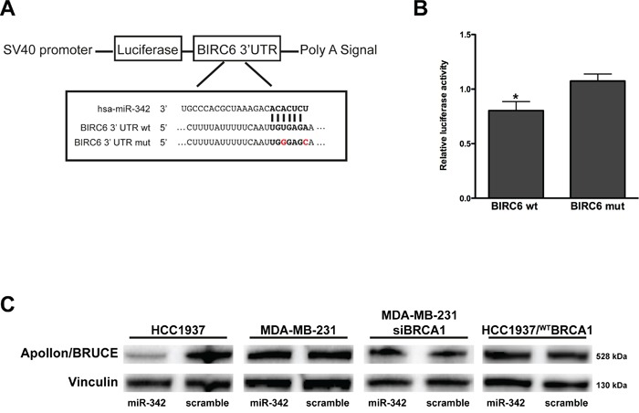 miR-342 targets BIRC6 and down-modulates Apollon/BRUCE protein in HCC1937 cells A. Schematic representation of the interaction of miR-342 at nucleotides 204-210 of the wild-type (wt) and mutated (mut) BIRC6 3′ UTR cloned into pGL3 promoter vectors (pLuc–BIRC6 and pLuc-MUT-BIRC6). B. Quantification of relative luciferase activity (RLU) in <t>293T</t> cells upon transfection with pre-miR-342 or scramble. Data are given as the ratio between luciferase activity detected in pre-miR-342 vs scramble-transfected cells and represent mean ± SD from at least three independent determinations. *P