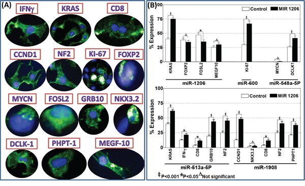 A. Operetta high-content confocal immunofluorescence imaging showing localization of IFNγ, kRAS, CD8, CCND1, NF2, KI-67, FOXP2, MYCN, FOSL2, GRB10, NKX3.2, DCLK1, PhPT1 and MEGF10 in parental SH-SY5Y cells. B. Histograms of percent expression (mean and standard deviation) of target positivity (A/B*100, where A is the number of Alexa Fluor positive cells and B is the number of total (DAPI) cells per given field) obtained from Columbus analysis showing alterations in the expression of kRAS, FOXP2, FOSL2 and MEGF10 after hsa-miR-1206 inhibition; KI-67 after hsa-miR-600 inhibition; MYCN and DCLK1 (after hsa-miR-548a-5P inhibition; IFNγ, CD8, NF2, GRB10, kRAS after hsa-miR-513a-5P inhibition and, CCND1, NKX3.2, PhPT1, CD8, NF2 after hsa-miR-1908 inhibition. Group-wise comparisons were performed with ANOVA with Tukey's post-hoc correction.