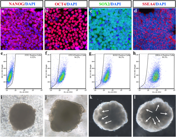 Identification of H1 human embryonic stem cell (ESC) line and early embryonic body inducement. ( a – d ) Immunofluorescence of ESC markers of H1 embryonic stem cell line treated with ( a ) NANOG; ( b ) OCT4; ( c ) SOX2; ( d ) SSEA4. ( e – h ) Fluorescence-activated cell sorting analysis of the H1 embryonic stem cell line. ( e ) Negative control. ( f ) OCT4; ( g ) SOX2; ( h ) SSEA4. ( i – l ) Representative image of early stage embryonic bodies. ( i ) Day 4; ( j ) Day 8; ( k ) Day 12; ( l ) Day 16. Arrows in ( k , l ) are pointing at the neural retina at the edges of the EBs. These data revealed that the H1 embryonic stem cell line expressed the embryonic marker. Neuroectodermal epithelia were about to emerge on day 8 and were evident from day 12.