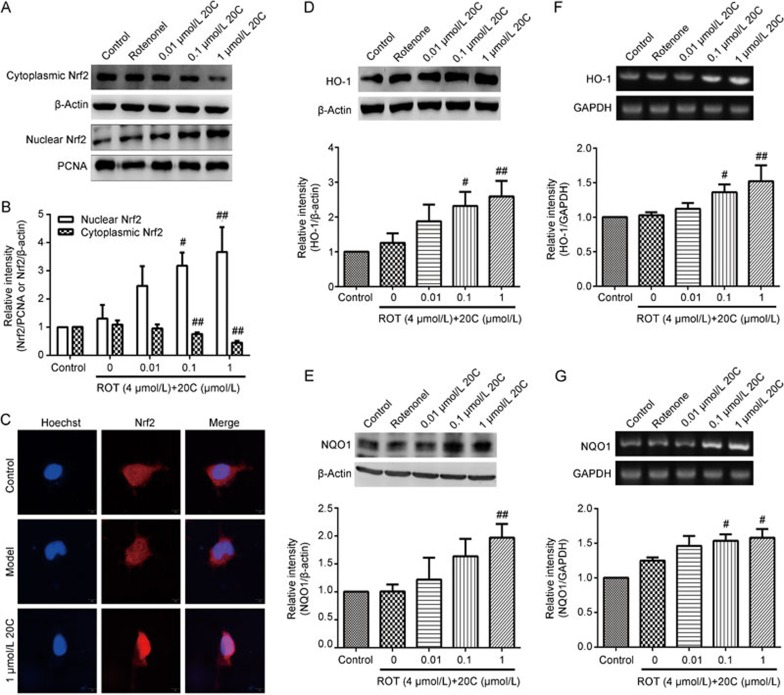 Effects of 20C on the Nrf2/ARE/HO-1 signaling pathway. (A) Western blotting analysis of the levels of the Nrf2 protein in the cytoplasm and nucleus of PC12 cells exposed to rotenone in the presence or absence of various concentrations of 20C. (B) Quantitative analysis of the density of Nrf2 in the cytoplasm and nucleus. (C) Confocal microscopy images of immunofluorescence with an anti-Nrf2 antibody showed the nuclear translocation of Nrf2 in the 20C-treated PC12 cells. The scale bar represents 10 μm. (D, E) Western blotting analysis of the levels of the HO-1 and NQO1 proteins in PC12 cells exposed to rotenone in the presence or absence of 20C. (F, G) RT-PCR analysis of the mRNA levels of HO-1 and NQO1 in PC12 cells exposed to rotenone in the presence or absence of 20C. # P