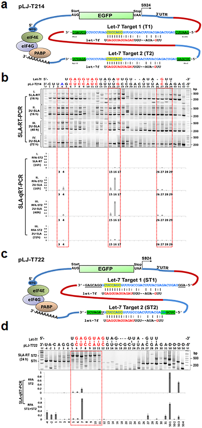 "Effects of Target mRNA Structural and Positional Elements on Activities of miRNA-mediated Cleavage and Uridylation. ( a ) The plasmid construct of pLJ-T214 containing the EGFP reporter gene with two copies of predicted let-7a target sequences in its 3′UTR. ( b ) Cleaved mRNA 5′-fragments from let-7 targets T1 and T2 were detected by SLA–RT-PCR (upper gel panels) and SLA-qRT-PCR (lower panels). The predicted sizes of SLA–RT-PCR products derived from target sites T1 and T2 were 240-209 bp and 532-500 bp, respectively. Total RNAs were prepared from H1299 at 16, 40 and 72 h after pLJ-T214 transfection and RT reactions were performed using SLA-RT or 2U-SLA-RT primers. The corresponding target T2 cleavage and uridylation activities detected by SLA-qRT-PCR with T2 fragment specific PCR primers and TaqMan probe. ( c ) The plasmid construct of pLJ-T722. The 3′UTR of the EGFP reporter gene containing two copies of identical predicted let-7:target pairing sequences but with varied lengths and compositions of nt (underlined) at their 5′- and 3′-adjacent regions ( ST1 and ST2 ). ( d ) The effect of structural composition of target mRNA on let-7 miRNA–mediated mRNA cleavage activity as detected by SLA–RT-PCR assay (upper gel panels) and SLA-qRT-PCR (lower panels). Total RNAs were prepared from H1299 cells transfected with pLJ-T722 at 24 h, and SLA–RT-PCR was performed using SLA-RT primers. D50, a PCR primer specific to the pLJ-T722 transcript, was designed to bond at every 50 bases along the target sequences toward its 5′ end. The base numbers correspond to those shown in ( b ), and escaped bases are indicated by ""•"" between them. M: 0.03 μg of 1 kb DNA ladder. A Taqman probe-based qPCR assay was used to detect cleavage activity specific to target ST2 and a SYBR Green-based qPCR to detect both target ST1 and ST2 cleavage activities, respectively. All qPCR results were presented as relative fragment abundance (RFA). Each RFA value was represented as the mean of three independent experiments and error bars as standard errors to the mean. The target cleavage and uridylation activities in miRNA target regions were highlighted in red boxes."
