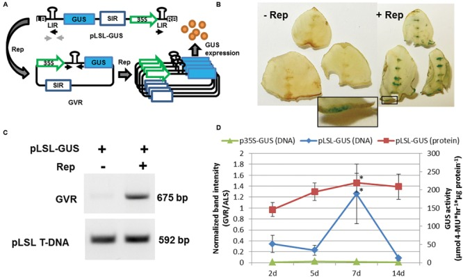 Delivery of the geminivirus replicon (GVR) to potato leaf explants. (A) Schematic of pLSL-GUS T-DNA used for Agrobacterium -mediated delivery of GVRs to potato leaf tissues. Replicase (Rep) is delivered on a separate p35S T-DNA binary vector (not shown). LB and RB; left and right T-DNA borders, respectively. SIR and LIR; short and long intergenic regions, respectively. 35S; cauliflower mosaic virus promoter. Blue rectangle; GUS coding sequence. Black and light gray arrows; priming sites used for PCR detection of circularized GVRs and pLSL T-DNA, respectively. (B) GUS staining of potato leaf explants transformed with pLSL-GUS. Potato leaf explants were transformed with pLSL-GUS in the presence (+Rep) or absence (-Rep) of Rep, and stained for GUS activity 7 days post-inoculation (dpi). Inset is magnification of wounded areas (open black rectangle). Images are from Désirée. (C) PCR detection of circularized GVRs in potato leaf explants transformed with pLSL-GUS. Leaf explants transformed with pLSL-GUS in the presence (+) or absence (-) of Rep were sampled for PCR detection of circularized GVRs (675 bp), and the pLSL T-DNA (592 bp) using priming sites from panel (A) . Images are from Désirée. (D) Time-course of GVRs in potato leaf explants constitutively expressing Rep. Leaf explants prepared from a mutant potato line, D52 (Supplementary Figure S2 ) were transformed with pLSL-GUS and control p35S-GUS T-DNAs, and sampled after 2, 5, 7, and 14 dpi for quantitative end-point PCR of circularized GVRs (DNA; primary axis) and GUS activity quantification (protein; secondary axis). Error bars represent standard deviations from three biological replications. ∗ P