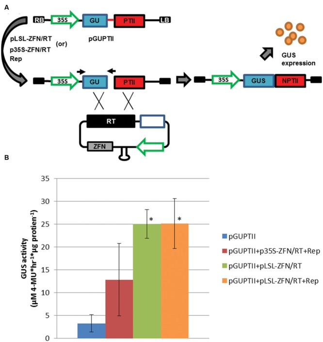 Gene targeting efficiency in potato leaf explants. (A) GUPTII reporter assay incorporating the Zif268 target site delivered on a T-DNA (pGUPTII). The GUPTII reporter cassette was constructed with the GUS:NptII translational fusion coding sequence (GUSNptII) disrupted by a 600 bp deletion (blue and red rectangles) and a 60 bp Zif268 target site (red line; Wright et al., 2005 ). pLSL and p35S T-DNAs incorporating the Zif268 SSN coding sequence (ZFN), and a repair template (RT) incorporating the 600 bp missing sequence and flanking sequence homologous to the GUPTII reporter (black rectangle; Baltes et al., 2014 ). LB and RB, left and right T-DNA borders, respectively. 35S; cauliflower mosaic virus promoter. Open blue rectangle; short intergenic region (SIR). Gray rectangle; Zif268 coding sequence (ZFN). Black arrows; priming sites used for PCR detection of the repaired pGUPTII reporter (GUSNptII). (B) GUS activity quantification of potato leaf explants transformed with pGUPTII and gene targeting reagents. Leaf explants were prepared from Désirée and transformed with the pGUPTII reporter, and p35S and pLSL-ZFN T-DNA gene targeting reagents (p35S-ZFN/RT and pLSL-ZFN/RT) in the presence (+Rep) or absence of Rep/RepA. Rep/RepA was delivered on a 35S T-DNA (Rep). Error bars represent standard deviations from three biological replications. ∗ P