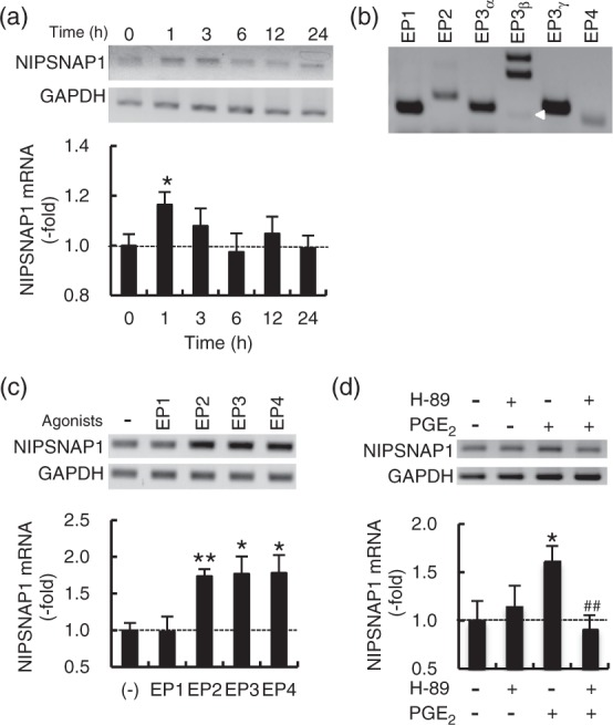 Analysis of NIPSNAP1 mRNA expression induced by PGE 2 . (a) RT-PCR and real-time PCR analysis of NIPSNAP1 expression induced by 5 µM PGE 2 in DRG cells. (b) RT-PCR analysis of the expression of mRNA encoding EP subtypes in DRG cells. White arrowhead shows EP3β. (c) Effect of EP agonists on the expression of NIPSNAP1 mRNA. DRG cells were incubated for 1 h in the presence of each EP agonist (1 µM), and subjected to RT-PCR and real-time PCR analysis. (d) Effect of the protein kinase A inhibitor H-89 on the PGE 2 -induced expression of NIPSNAP1 mRNA. DRG cells incubated with 5 µM PGE 2 for 1 h in the absence and presence of 20 µM H-89 were subjected to RT-PCR and real-time PCR analysis. The upper and lower panels show representative results of RT-PCR and real-time PCR analysis, respectively. Data are expressed as the mean ± SEM ( n = 3–4). **p