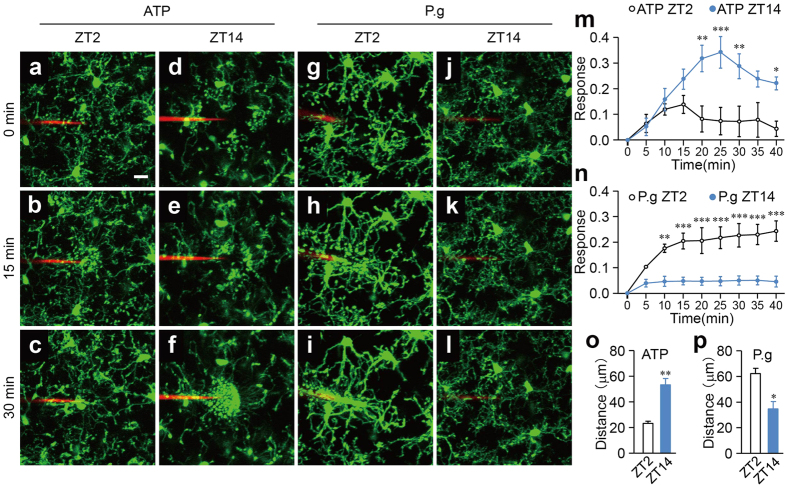 The differential diurnal variation in the dynamic behavior of the microglial processes in response to the focal injection of ATP and P. gingivalis. ( a–l ) The dynamic response of the microglial processes to the local injection of 10 mM ATP ( a–f ) and 3.6 × 10 5 CFU ml −1 P. gingivalis ( g–l ) in an open-skull preparation of CX3CR1 GFP /+ mice at ZT2 and ZT14. Scale bar: 10 μm. ( m,n ) The kinetics of the mean fluorescent change in the microglial response to ATP ( m ) and P. gingivalis ( n ) at ZT2 and ZT14. The data are presented as the mean ± S.E.M. (N = 3 mice, n = 3–6 each). A two-way repeated measure ANOVA with Sidak's test (ZT2 versus ZT14); from 10 to 40 min: p = 0.9985, p = 0.6209, p = 0.0030, p = 0.0006, p = 0.0082, p = 0.0939, p = 0.0455 ( m ), p = 0.0030, p = 0.0002, p = 0.0001; from 25 to 40 min: p = 0.0001 ( n – p ) The maximum distance from the reactive microglia to the injection of ATP ( o ) and P. gingivalis (P.g) ( p ) at ZT2 and ZT14. The data are presented as the mean ± S.E.M. A two-tailed unpaired t -test; ** p = 0.0042 ( o ), * p = 0.0173 ( p ).