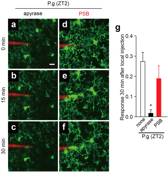 The possible involvement of extracellular nucleotides in the microglial response to bacterial infection. ( a–i ) The dynamic response of microglial processes to the local injection of P. gingivalis in the presence of various compounds at ZT2. ( a–c ) 5 U ml −1 apyrase, ( d–f ) 1 μM PSB. Scale bar: 10 μm. ( g ) The kinetics of the mean fluorescent change in the microglial response measured at 30 min after the injection of P. gingivalis in the presence of various compounds at ZT2. The data are presented as the mean ± S.E.M. (N = 3 mice, n = 3–4 each). A one-way ANOVA with Dunnett's test; P.g vs. apyrase: * p = 0.0230; P.g vs. PSB: p = 0.4400.