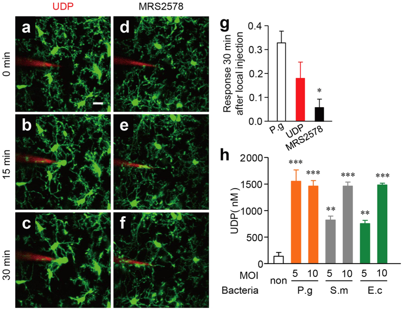 The possible involvement of UDP in the microglial response to bacterial infection. ( a–c ) The dynamic response of the microglial processes to the local injection of 10 mM UDP and P. gingivalis in the presence of 1 μM MRS2578 ( d–f ) at ZT2. Scale bar: 10 μm. ( g ) The kinetics of the mean fluorescent change in the microglial response measured at the 30 min after the injection of UDP and P. gingivalis in the presence of MRS2578. The data are presented as the mean ± S.E.M. (N = 3 mice, n = 5–6 each). A one-way ANOVA with Dunnett's test; P.g vs. UDP: p = 0.2162, P.g vs. MRS3578: * p = 0.0277. ( h ) MG6 microglial cells released UDP after infection with bacteria at indicated MOI. P.g, P. gingivalis ; S.m, S. mitis ; E.c, E. coli . The data are presented as the mean ± S.E.M. (n = 4 each). A one-way ANOVA with Dunnett's test as compared with the control; P.g 1:5, p = 0.0001; P.g 1:10, p = 0.0001; S.m 1:5, p = 0.0021; S.m 1:10, p = 0.0001; E.c 1:5, p = 0.0049; E.c 1:10, p = 0.0001.