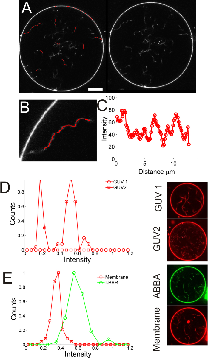 Examples of how intensities of tube segments are recorded and quantified. Tube segments transiently diffuse into focus of the confocal microscope. An adaptive filament algorithm 41 was used to track the filaments and extract the intensity while they are in focus. By recording a number of images several different tube segments can be analyzed. ( A ) A GUV displaying a number of tube segments which are in focus (right panel). Left panel shows the fitted curves (red curves) which overlap with the tube segments which are in focus. The GUV membrane can similarly be quantified using the same strategy. Scale bar, 10 μm. ( B ) Enlarged image of a tube from ( A ) with the fitted curve as an overlay (red curve). ( C ) Intensity profile along the red curve in ( B ). The portion of the tube which is closest to the microscope focus corresponds to the maximum intensity value and is used in the following quantification of tube intensities. ( D ) Distribution of the maximum intensities from a number of tube segments from two different GUVs (images of GUV1 and GUV2 are shown to the right). The number of tube segments are N seg = 31 (GUV1) and N seg = 33 (GUV2). ( E ) Distribution of tube intensities from a GUV containing YFP labeled I-BAR coated tubes ([I-BAR] = 2.9 μM). The red squares represent maximum tube intensities from the membrane channel (TR-DHPE) and the green circles corresponds to the equivalent signal from the YFP labeled I-BAR ( N seg = 64). To the right are shown confocal images of the YFP labeled I-BAR (green) and membrane (red). Membrane composition is <t>DOPC:DOPS:TR-DHPE</t> 59.7:40:0.3.