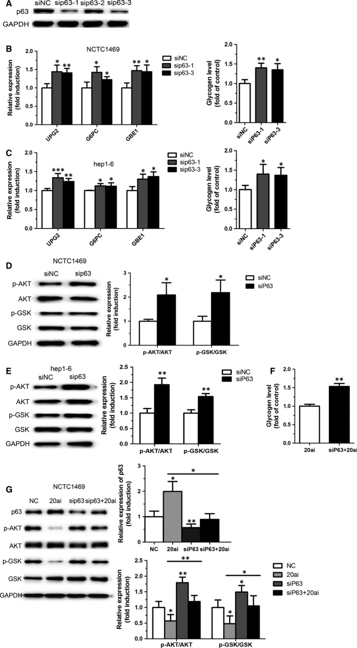 Knockdown of p63 improves glycogen synthesis. Two specific si RNA targeting p63 was selected ( A ). Genes related to hepatic glycogen synthesis, glycogen content ( B and C ) and phosphorylation levels of AKT and GSK ( D and E ) were measured in the NCTC 1469 cells and the Hep1‐6 cells transfected with si RNA targeting p63. Moreover, p63 knockdown could reverse miR‐20a‐5p inhibition‐induced reduced glycogenesis and activation of AKT and GSK ( F and G ). Data represent the mean ± S.D. N = 3 independent experiments. * P