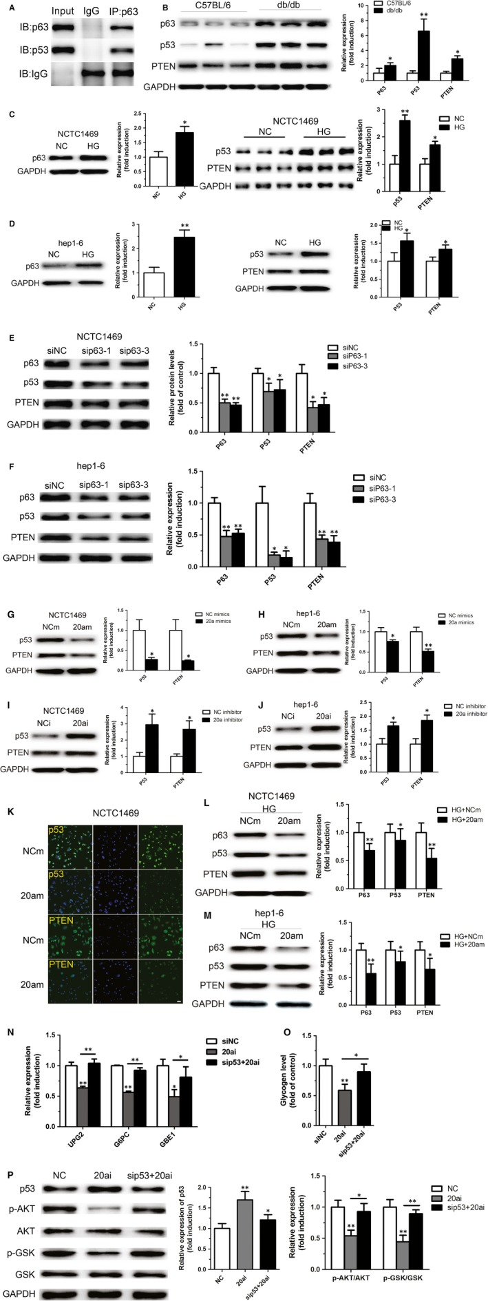 P63 regulates expression of PTEN by directly binding to p53. A direct interaction between p63 and p53 was observed by co‐immunoprecipitation ( A ). The levels of p63, p53 and PTEN protein were measured in the liver of db/db mice ( B ), NCTC 1469 cells ( C ) and Hep1‐6 cells ( D ) treated with high glucose as well as NCTC 1469 cells ( E ) and Hep1‐6 cells ( F ) transfected with si RNA targeting p63. Overexpression of miR‐20a‐5p led to decreased protein levels of p53 and PTEN ( G and H ), whereas inhibition of miR‐20a‐5p increased the expression of p53 and PTEN ( I and J ). Transfection of miR‐20a‐5p mimic significantly decreased the fluorescence intensity of p53 and PTEN , as shown by immunofluorescence assay ( K ). Moreover, overexpression of miR‐20a‐5p in NCTC 1469 cells and Hep1‐6 cells could reverse high glucose‐induced increased expression of p63, p53 and PTEN ( L and M ). Moreover, p53 knockdown could reverse miR‐20a‐5p inhibition‐induced reduced expression of genes related to hepatic glycogen synthesis such as UPG 2, G6 PC and GBE 1 ( N ) and hepatic glycogen synthesis ( O ), and activation of AKT and GSK ( P ) in the NCTC 1469 cells treated by miR‐20a‐5p inhibition. Scale bar represents 20 μm. Data represent the mean ± S.D. N = 5 mice or N = 3 independent experiments. * P