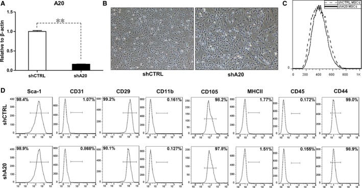 Morphological and phenotypic characterization of C3 MSC s after A20 knockdown. ( A ) qRT ‐ PCR analysis of A20 mRNA levels with or without A20 knockdown. ( B ) Morphology and ( C ) size of cultured sh CTRL C3 MSC s and shA20 C3 MSC s were analysed by microscopy and flow cytometry. ( D ) Cell surface markers were analysed by flow cytometry, ** P