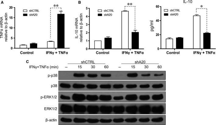 A20 inhibits TNF ‐α and promotes IL ‐10 production in C3 MSC s, and the p38/ MAPK pathway is involved in A20‐induced immunomodulation. TNF ‐α ( A ) and IL ‐10 ( B , left) expression was examined with or without stimulation with 5 ng/ml IFN ‐γ and TNF ‐α by qRT ‐ PCR . IL ‐10 protein level was determined by ELISA ( B , right). ( C ) The time courses of p38 phosphorylation in response to 5 ng/ml IFN ‐γ and TNF ‐α was determined by immunoblotting, ** P