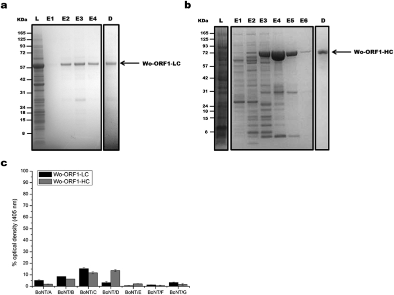 "Purification of recombinant Wo-ORF1 proteins and serotyping by indirect ELISA. Panels ( a , b ) show, respectively, the purification and characterization of Wo-ORF1-LC and of Wo-ORF1-HC, as recombinant proteins. Full-length Wo-ORF-LC or Wo-ORF1-HC (arrows) were expressed in competent  E. coli  cells. Total lysates ""L"" were purified with an affinity HisTrap HP column. The eluted fractions ""E"", followed by progressive numbers, were pooled and dialysed overnight ""D"". SDS-PAGE gel was stained with SimplyBlue™ SafeStain. These images are representative of three independent expression and purifications experiments. ( c ) The seven BoNT serotypes or Wo-ORF1-LC or Wo-ORF1-HC were incubated with BoNT serotype specific polyclonal antisera provided by the CDC, Atlanta. The ELISA test was developed using ABTS. The mean optical density at 405 nm of the average of three independent sets of experiments each one consisting of triplicates. The values obtained with the standard sera (anti serotype A, BoNT/A; anti serotype B, BoNT/B; etc.) were taken as 100% and the values obtained with the  Weissella  proteins expressed as percentages. Bars represent S.D. values."