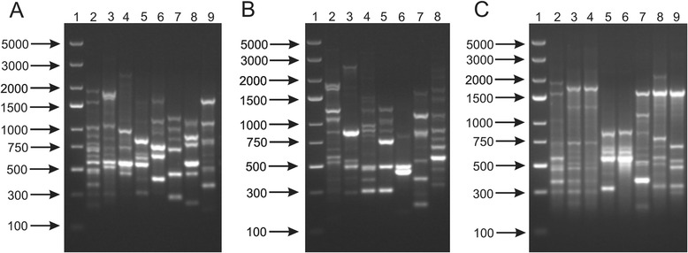 BOX-PCR DNA profiles obtained for Bifidobacterium strains used in this work. Analysis of the discriminatory power of this procedure was performed at a species level ( a ) - 1, DNA molecular marker; 2, B. adolescentis DSM 20087; 3, B. animalis NRRL B-41406; 4, B. bifidum DSM 204564; 5, B. breve DSM 20091; 6, B. catenulatum DSM 20224; 7, B. longum NRRL B-41409; 8, B. pseudocatenulatum DSM 20439; 9, B. pseudolongum DSM 20099; at a subspecies level ( b ) - 1, DNA molecular marker; 2, B. animalis subsp. animalis NRRL B-41406; 3, B. animalis subsp. lactis NRRL B-41405; 4, B. longum subsp. infantis ATCC 15697; 5, B. longum subsp. longum NRRL B-41409; 5, B. longum subsp. suis NRRL B-41407; 6, B. pseudolongum subsp. pseudolongum DSM 20099; 7, B. pseudolongum subsp. globosum DSM 20092; and at a strain level ( c ) - 1, DNA molecular marker; 2, B. adolescentis DSM 20087; 3, B. adolescentis DSM 20083; 4, B. adolescentis 20086; 5, B. breve DSM 20091; 6, B. breve NRRL B-41408; 7 , B. pseudolongum DSM 20099; 8, B. pseudolongum 20094; 9, B. pseudolongum DSM 20095