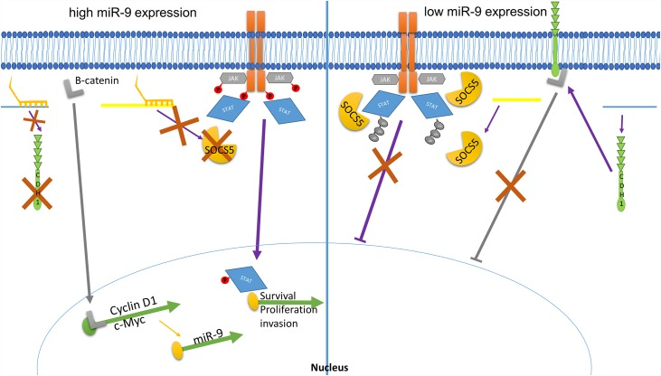 """miR-9's mode of action on tumour progression through e-cadherin and SOCS5. In the presence of miR-9 (left), e-cadherin message is cleaved and suppressed, resulting in less protein production. This allows for accumulation of β-catenin (grey """"L""""), which can then diffuse into the nucleus, activate transcription factors and drive pro-survival, pro-proliferation transcription including c-Myc and Cyclin D1. c-Myc then initiates additional miR-9 message through a positive feedback signal. SOCS5 translation is likewise suppressed when miR-9 is overexpressed, resulting in less protein production. This allows phosphorylation and signal transduction, resulting in p-STAT transcriptional activation of pro-survival, proliferation, and invasion/mestatasis oncogenes. In the noncancerous tissue in which miR-9 expression levels are low (right panel), e-cadherin is produced and sequesters β-catenin, preventing activation of transcriptional events. Likewise, SOCS5 is produced and works to prevent phosphorylation of JAK kinase and STAT while also promoting ubiquitination, thus attenuating the JAK/STAT signaling cascade, and resulting in decreased transcription of survival, proliferation, and invasion gen es."""