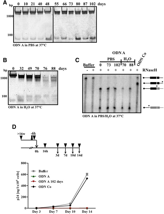 ODN A is active in vitro and in cell culture infection assays after long-term storage at 37 °C. a ODN A (8 μM) was stored for the indicated duration in PBS or ( b ) in H 2 O at 37 °C. Samples were analyzed by non-denaturing 10 % PAGE. c ODN A (50 nM), either freshly thawed or stored for the indicated time periods at 37 °C in PBS or H 2 O was hybridized to 50 nM in vitro transcribed γ-32-ATP 5′-labeled PPT-containing RNA in the presence of HIV-1 RT/RNase H. The cleavage products were analyzed by denaturing polyacrylamide/8 M urea gel electrophoresis and are presented schematically on the right . Cleavage sites are indicated by arrowheads and labeled products are shown in black . ODN Co, annealing to sequences downstream of the PPT, served as a control. d Following the experimental procedure shown at the top : Freshly thawed ODN A or ODN Co (250 nM), or ODN A stored for 102 days at 37 °C in PBS were incubated with replication-competent HIV-1 particles (1 × 10 9 ) at 37 °C for 6 h in cell culture medium. Jurkat 1G5 T cells were infected with the mixtures overnight and HIV-1 p24 antigen in the supernatant was detected at 3–14 days post infection. Two-way ANOVA followed by Bonferroni posttest was used for statistical evaluation. ODN A-mediated inhibition (as compared to buffer alone) was highly significant ( p