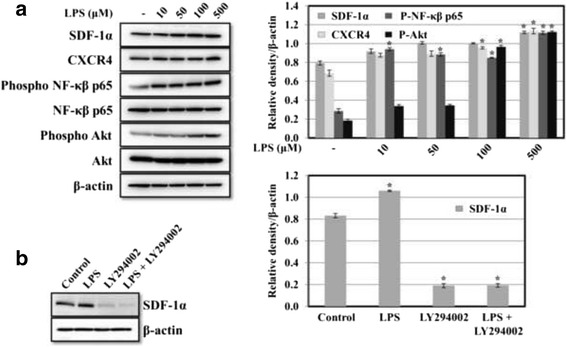 a Effect of LPS on the expression of SDF-1α and CXCR4 in HGF-1 cells. HGF-1 cells were incubated with different concentrations of LPS from P. gingivalis for 24 h. The cell lysates were then assayed to determine the expression of SDF-1α and CXCR4, Akt and NF-kβ p65, and the phosphorylation of Akt and NF-kβ p65 using Western blots. Membranes were stripped and re-probed with an anti-β-actin antibody as a loading control. Protein bands were quantified by densitometric analyses. The results are expressed as means ± S.D. (* p