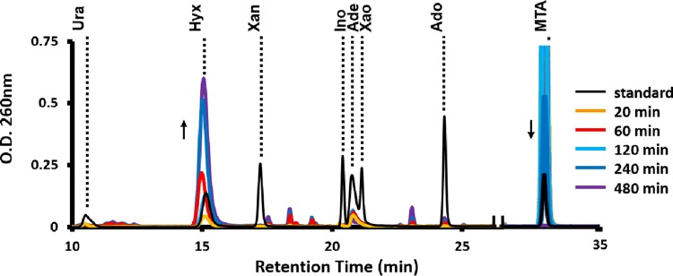 "HPLC identification of purines resulting from MTA metabolism. The R. rubrum wild-type strain was grown anaerobically in the presence of sulfate and then fed with MTA for the indicated amount of time (minutes) before resolution of metabolites via 260-nm absorbance present in the medium after reverse-phase liquid chromatography. ""Standard"" (black line) is the retention time of known purine base and nucleoside standards (see Fig. S4A in the supplemental material). Ura, urate; Hyx, hypoxanthine; Xan, xanthine; Ino, inosine; Ade, adenine; Xao, xanthosine; Ado, adenosine; MTA, 5-methylthioadenosine."