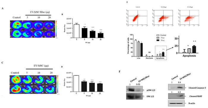 Effect of EV-MSC and EV-MSC/Rluc on LLC-1 effluc activity, and apoptosis mechanism. ( A , C ) Representative BLI of EV-MSC and MSC/Rluc-EV-treated LLC-effluc activity. The viability of LLC-effluc cells decreased with increasing concentration of EV-MSC and EV-MSC/Rluc. ( B , D ) Quantitative effluc activity of LLC-effluc cells. ( E ) Annexin V and PI staining for analyzing LLC cell apoptosis. The percentage of apoptotic cells was increased after treatment with 10 or 20 μg/mL of EV-MSC/Rluc for 24 h. ( F ) Representative western blot analyzing pERK1/2, cleavage of apoptosis markers caspase 3 and PARP levels in EV MSC/Rluc-treated LLC cells. The fold changes were normalized for pERK with total ERK. Cleaved PARP and cleaved caspase 3 normalized with β-actin. Data are expressed as the mean ± standard deviation (SD) of three independent experiments, *p