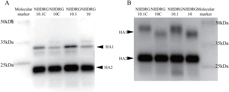 Western blotting analysis of the purified viral proteins. Purified viral concentrates of NIIDRG-10C, -10.1C, -10 and -10.1 were analyzed by SDS-PAGE. HA proteins were detected using a rabbit polyclonal antibody against recombinant HA protein of H7N9 (A/Shanghai/1/2013) (Sino Biological Inc. Beijing, China) and a donkey anti-rabbit IgG horseradish peroxidase-conjugated secondary antibody by western blotting analysis. Purified viral proteins were treated (A) or untreated (B) with N-glycosidase F.