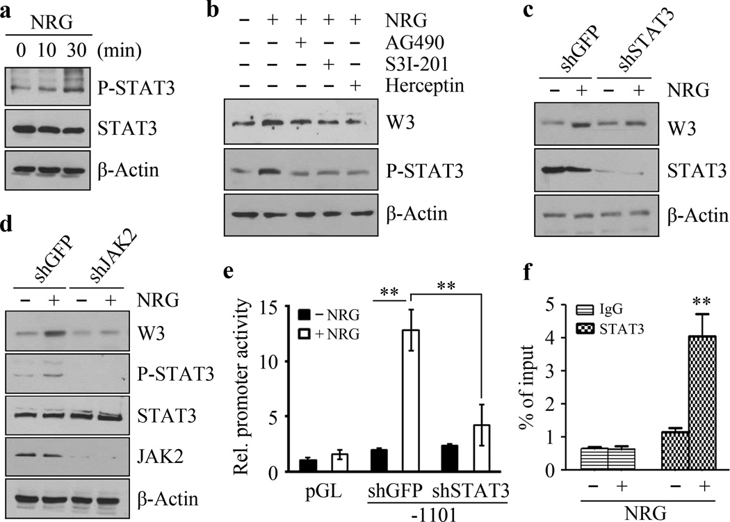 STAT3 is required for NRG-induced upregulation of WASF3 When SKBR3 cells were treated with NRG for 30 minutes, there is a significant increase in STAT3 phosphorylation at Tyrosine 705 (Y705) (a). Only a slight increase in STAT3 phosphorylation was seen in the presence of NRG for 10 minutes (a). When these NRG-treated cells are treated with the AG490 JAK2 inhibitor, Y705 activation is suppressed (b). The same suppression is seen when the cells are treated with the either the S3I-201 STAT3 inhibitor, or the Herceptin recombinant, humanized anti-HER2 antibody (b). In STAT3 knockdown SKBR3 cells, NRG does not affect WASF3 expression levels (c). Similarly, knockdown of JAK2 also suppresses NRG-induced expression of WASF3 (d). In the luciferase reporter assay for WASF3, NRG treatment leads to a significant increase in activity, which is suppressed in STAT3 knockdown cells (e). ChIP-qPCR assays show increased levels of STAT3 at the WASF3 promoter-binding site in the presence of NRG (f). ** p
