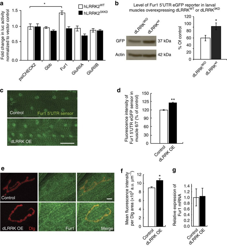 dLRRK and hLRRK2 promote cap-dependent translation in postsynaptic muscles. ( a ) Quantification of 5′-UTR luciferase reporter activity in response to co-transfection with either wild-type hLRRK2 wt or kinase-dead hLRRK2 3XKD normalized to psiCHECK2 response in <t>HEK293T.</t> n =3 experiments, * P =0.043. See also Supplementary Table 2 . ( b ) Western blot analysis of in vivo Fur1-5′-UTR-eGFP reporter expression when co-expressed with either dLRRK 3KD (+/UAS- Fur1 -5′-UTR- eGFP ; UAS -dLRRK 3KD / MHC-Gal4 ) or wild-type dLRRK wt (UAS -dLRRK wt /UAS- Fur1 -5′-UTR- eGFP ; +/ MHC-Gal4 ). Left: Western blotting probed with (top) anti-GFP and (bottom) anti-Actin as loading control. Right: quantification of Fur1-5′-UTR-eGFP expression normalized to actin levels. n =3 for each. * P