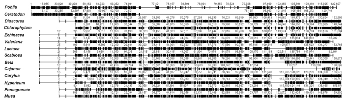 Complete cp genomes were de novo assembled from transcriptome data. The wrap sequence alignment of the assembled genome. The black blocks depict genome similarity for these species. A detailed species list is provided in Supplementary Table S7 .