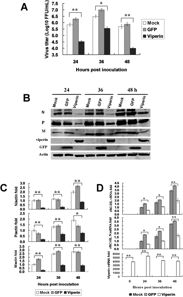 Viperin expression inhibits RABV replication. ( A ) Viperin inhibits RABV replication in viperin-eGFP-transfected BHK-21 cells. The viperin stably expressing BHK-21 cells were infected with rRC-HL at an MOI of 0.1. Virus titres were determined at 24, 36, and 48 hpi. ( B ) RABV proteins in the infected viperin stably expressing BHK-21 cells were detected by Western blotting. ( C ) The N protein/actin, P protein/actin and M protein/actin ratios in Figure 2F were measured using Li-Cor Odyssey 3.0 analytical software version 29. ( D ) RNA expression levels of viperin. rRC-HL vRNA and N mRNA expression levels were detected by qRT-PCR at 24, 36, and 48 hpi. Viperin-expressing BHK-21 cells were infected with rRC-HL at an MOI of 0.01. Data were normalized to β-actin expression and are presented as relative fold expression values to each control cell population infected with rRC-HL.