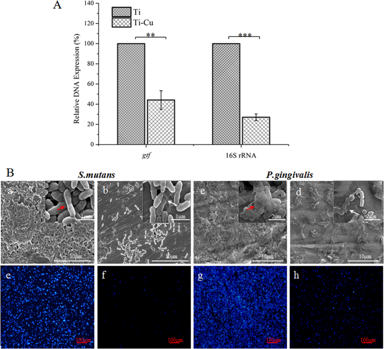 """( A ) Gene expressions of P. gingivalis (16s RNA) and S. mutans (glucosyltransferase, in short """" gtf """") in the biofilm, **P ≤ 0.01, ***P ≤ 0.001; ( B ) SEM micrographs and DAPI images of S. mutans and P. gingivalis on surfaces of Ti (a, c, e and g) and Ti-Cu alloy (b,d,f and h) after co-culture for 24 h."""