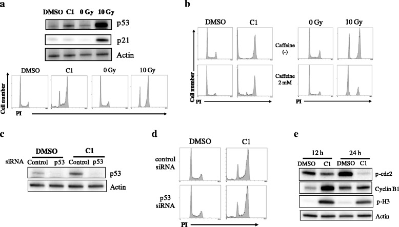 Involvement of p53 in compound C1–induced G2/M arrest. a A549 cells were treated with C1 for 12 h and harvested for western blotting of p53 and p21 and cell cycle analyses. As a positive control, A549 cells were irradiated with 10 Gy X-ray and harvested 12 h after irradiation for Western blotting analyses of p53 and p21; actin was used as a loading control. Representative blots of two different experiments are shown [ upper panel ]. Representative histograms of two different experiments are shown [ lower panel ]. b A549 cells preincubated with the caffeine were cultured in the presence of 10 μM C1 for 24 h [ left panel ] or cultured for 12 h after 10 Gy-irradiation [ right panel ]. The cells were harvested, and cell cycle analysis was performed. Representative histograms of two different experiments are shown. c – d A549 cells treated with p53 siRNA were cultured in the presence of C1 at 10 μM for 12 h, and then western blotting of p53 ( c ) and cell cycle profiles ( d ) were analyzed. Representative results of two different experiments are shown. e A549 cells were treated with C1 for 12–24 h and harvested for western blotting of phospho-cdc2 (p-cdc2), cyclin B1, and phospho-histone H3 (p-H3). Representative results of two different experiments are shown