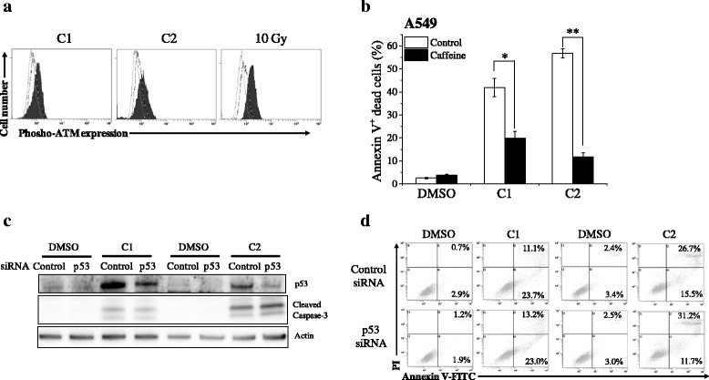 Involvement of DNA damage-signaling pathway and p53 in compounds-induced cell death of A549 cells. a A549 cells cultured in the presence of 10 μM C1 for 48 h or C2 for 72 h were harvested, and intracellular phospho-ATM expression was analyzed. Representative histograms of three different experiments are shown. The dotted line histogram indicates cells stained with Alexa Fluor® 488-conjugated secondary antibody alone. The broken line and filled gray histograms indicate phosphor-ATM expression in cells treated with vehicle and compound, respectively. As a positive control, A549 cells were irradiated with 10 Gy X-ray and harvested 30 min after irradiation. b A549 cells preincubated with the caffeine (2 mM) were cultured in the presence of 10 μM C1 or C2 for 72 h. The cells were harvested, and annexin V/propidium iodide staining was performed. Percentages of annexin V(+) cells are presented as the mean ± SE of three independent experiments; * and ** indicate p