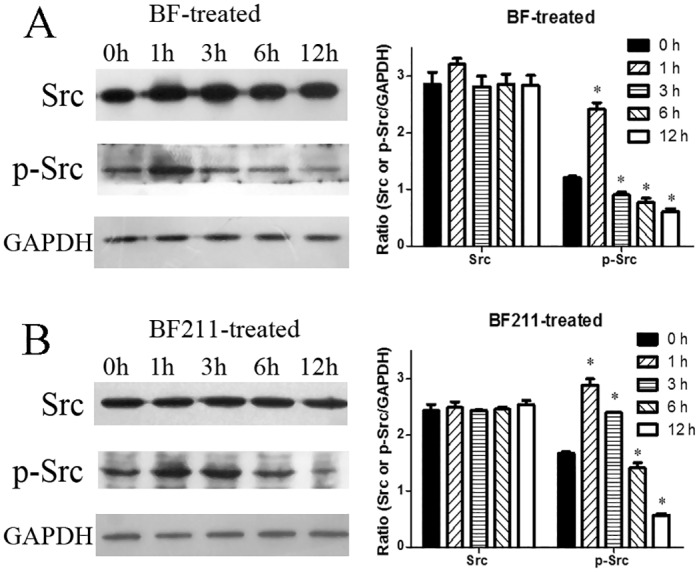 Effects of BF or BF211 on activation of Src in A549 cells. (A) The time-dependent effects of BF on the activation of Src in A549 cells treated with 50 nM BF for different time periods. Both representative western blot assay results and quantification analysis results were shown. The quantification data are the statistical results (n = 3, mean ± SEM) of three independent experiments. *p