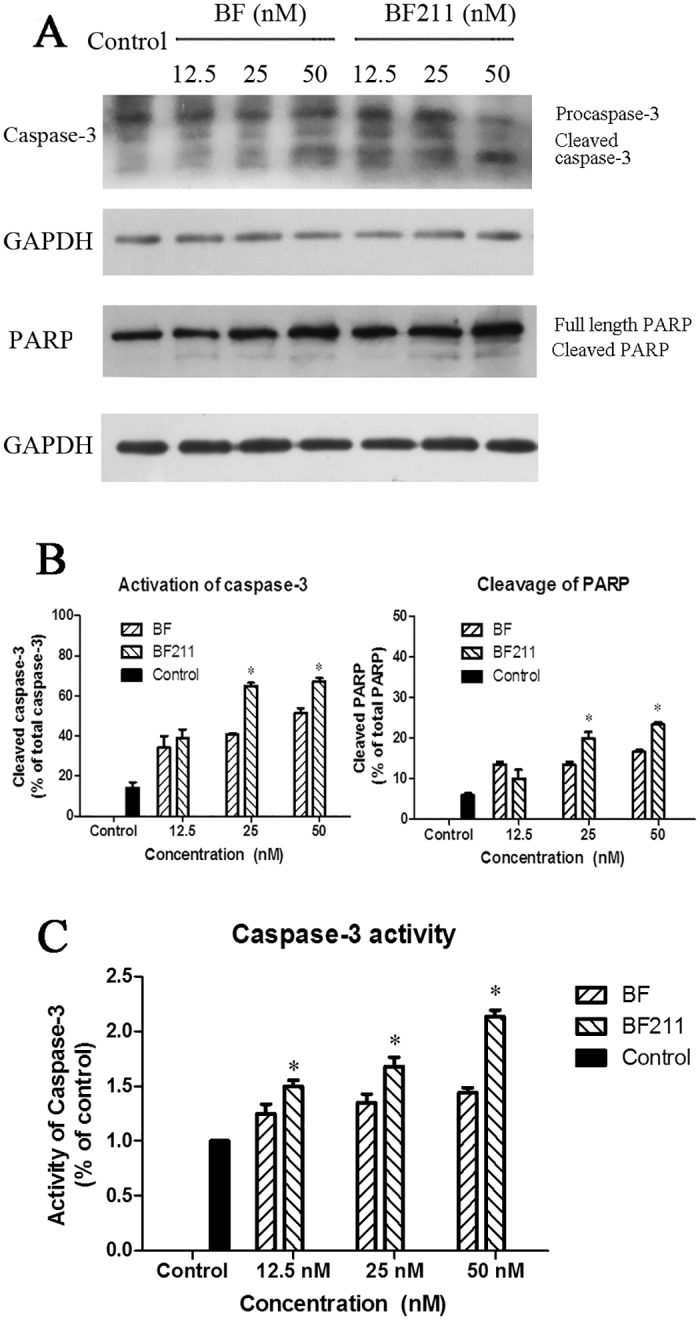 Effects of BF or BF211 on caspase-3 activation and PARP cleavage in A549 cells. (A) The r epresentative western blot assay results probing the levels of caspase-3 and PARP in cells treated with BF or BF211 at different concentrations for 24 h. (B) The quantification of the western blot assay results of the activation of caspase-3 (percentage of cleaved caspase-3 from the total caspase-3) and cleavage of PARP (percentage of cleaved PARP from the total PARP) in cells treated with BF or BF211 at different concentrations for 24 h. The data are the statistical results (n = 3, mean ± SEM) of three independent experiments. * p