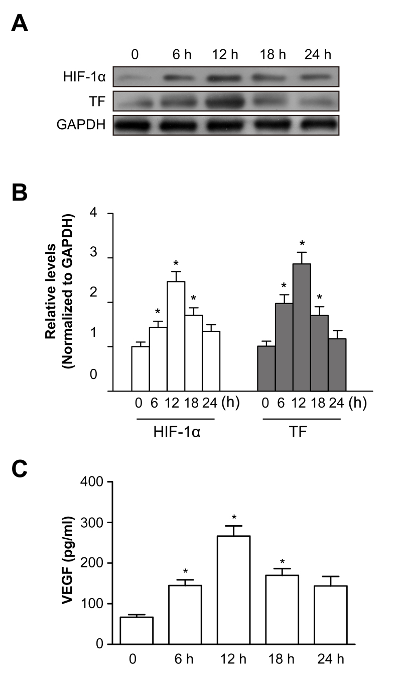 Chemical hypoxia induces TF, HIF-1α, and VEGF expression in ARPE-19 cells. A : Western blots show tissue factor (TF) and hypoxia-inducible factor 1-alpha (HIF-1α). B : Histogram shows the densitometric analysis of the average levels for TF and HIF-1α to glyceraldehyde 3-phosphate dehydrogenase (GAPDH) in each group. C : The vascular endothelial growth factor (VEGF) concentrations are examined with enzyme-linked immunosorbent assay (ELISA) at different hypoxia time points. Hypoxia significantly increased the TF, HIF-1α, and VEGF levels in the ARPE-19 cells. *p