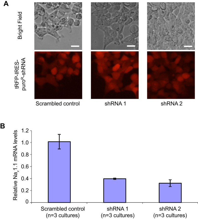 Transduction and RNAi efficiency of two human Nav1.1 lenti-shRNA clones. ( A ) Evaluating the transduction efficiency of the lentiviral particles were tested in HEK293T cells based on the expression of the tRFP reporter. Scale bars, 20 microns. ( B ) The RNAi efficiency of lenti-shRNA1 and lenti-shRNA2 relative to a non-silencing clone was determined by first transducing HEK293T cells with the lentiviral clones and next expressing the human Na v 1.1 cDNA via transfection. Na v 1.1 mRNAs were quantified with <t>qRT-PCR.</t> By ANOVA and post hoc Sidak's multiple comparisons, p = 0.003 for the comparison between control and shRNA1; p = 0.002 for the comparison between control and shRNA2. DOI: http://dx.doi.org/10.7554/eLife.13073.034