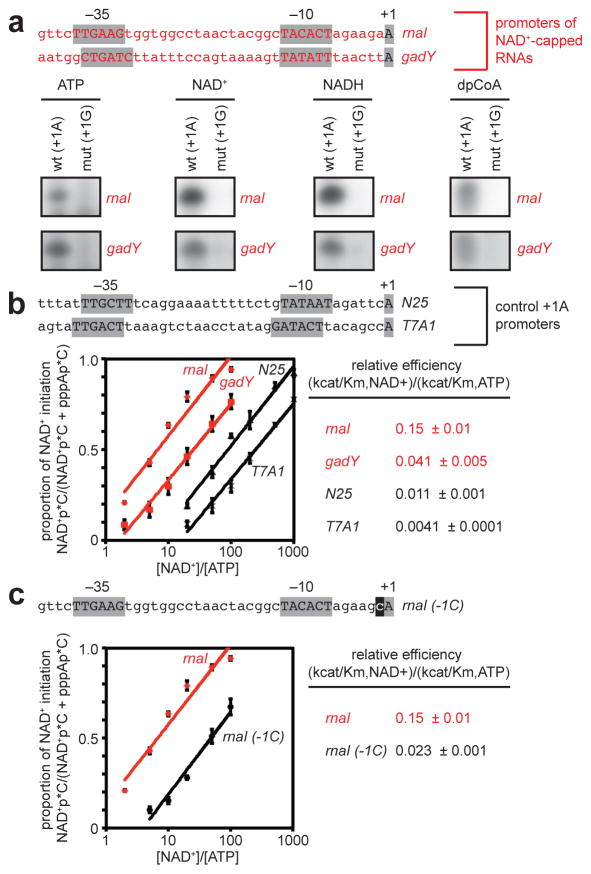 Promoter-sequence effects on efficiency of NCIN-mediated transcription initiation a. NCIN capping requires A +1 . Top, promoters of NAD + -capped RNAs (promoter elements and start sites in gray). Bottom, initial RNA products of in vitro transcription reactions with ATP, NAD + , NADH, or dpCoA as initiating nucleotide and [α 32 P]-CTP as extending nucleotide [ E. coli RNAP; wt (+1A), P rnaI (upper) or P gadY (lower); mut (+1G), +1G derivative of P rnaI (upper) or P gadY (lower)]. b. Promoter sequence determinants in addition to A +1 affect NCIN capping. Top, control +1A promoters. Bottom left, dependence of NAD + capping on [NAD + ]/[ATP] ratio (mean±SEM of 4 determinations). Bottom right, relative efficiencies of NAD + capping. c. Promoter position −1 affects NCIN capping. Top, P rnaI (-1C) (-1 in black). Other features as in b . (mean±SEM of 3 determinations). For gel source data, see Supplementary Figure 1 .
