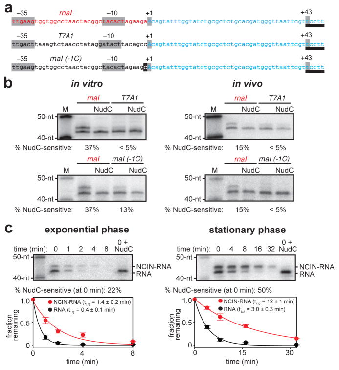 NCIN-mediated transcription initiation in vivo a. Templates having rnaI , T7A1 , and rnaI (-1C) promoters fused to identical transcribed regions (promoter elements, start sites, and position of RNA 3′-end in gray; DNA that directs synthesis of reference RNA in blue; site for MazF-mt3 endoribonuclease used to generate RNA products having uniform RNA 3′-ends, underlined). b. NCIN capping in vitro (left; 1 mM NAD + , 200 μM ATP, CTP, UTP, and GTP) and in vivo (right; RNA isolated from cells, treated with MazF-mt3 or MazF-mt3 plus NudC, and detected by hybridization). M, markers (40-nt, 50-nt). c. Effects of NCIN capping on RNA stability in vivo ( rnaI template; left, exponential-phase cells; right, stationary-phase cells; times, minutes after addition of RNA-synthesis inhibitor rifampin; half-life values are the mean±SEM of 3 determinations for exponential phase and 5 determinations for stationary phase). For gel source data, see Supplementary Figure 1 .