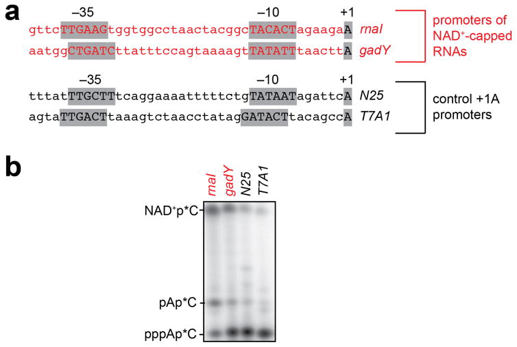 Promoter-sequence effects on efficiency of NCIN-mediated transcription initiation: NAD + a. Templates having rnaI , gadY , N25 , and T7A1 promoters used in the assays. b . Representative raw data from experiments of Figure 2b . Initial RNA products of in vitro transcription reactions performed in the presence of 50 μM ATP and 1 mM NAD + as initiating nucleotides and [α 32 P]-CTP as extending nucleotide ( E. coli RNAP; P rnaI , P gadY , P N25 , or P T7A1 ). (We note that contaminating AMP in the NAD + stock results in production of pAp*C.) For gel source data, see Supplementary Figure 1 .