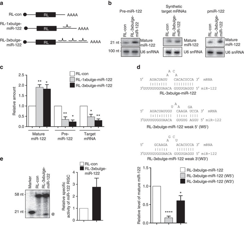Target mRNA-dependent increase of mature miR-122 in human cells. ( a ) Scheme of the different target mRNAs used. Positions of the miR-122-binding sites are indicated. ( b ) Effect of RL-3 × bulge-miR-122 on mature miR-122 level in cells transfected with pre-miR-122 and reporter plasmids or in vitro -transcribed mRNAs. In experiment described in the right panel, HEK293 cells co-transfected with plasmid encoding pre-miR-122 (pmiR-122) and RL reporters were used. Total RNA was extracted and northern blotted for mature miR-122, for all the experiments. U6 snRNA was used as loading control. ( c ) Mature miR-122, pre-miR-122 and target mRNA levels were quantified by quantitative reverse transcriptase–PCR in HEK293 cells expressing target mRNAs and co-transfected with plasmid encoding pre-miR-122. ( d ) Effect of modification of 5′ or 3′ miR-122-binding site on target mRNA-driven miRNA elevation. Relative quantification of mature miR-122 level increase in the presence of target RL-3 × bulge-miR-122 mRNA and in the presence of mRNAs with weak 5′- region (W5′) or weak 3′-region (W3′). Relative levels were normalized against respective target mRNA levels. ( e ) In vitro RISC cleavage assay done with protein equivalent amounts of affinity-purified FH-AGO2 isolated from pre-miR-122-transfected FH-AGO2 stable HEK293 cells expressing RL-3 × bulge-miR-122 or RL-con. @, Cleaved product of RISC assay; radio labeled 21-nt band serves as a marker. Paired two-tailed Student's t -tests were used for all comparisons. * P