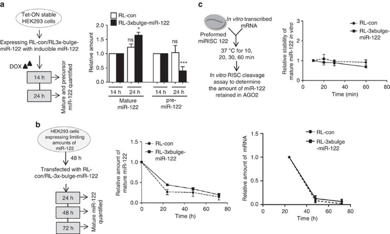 Target mRNA drives increased biogenesis of mature miRNA from pre-miRNA. ( a ) De novo synthesis of mature miR-122 in the presence of target mRNA is accompanied by a simultaneous drop in pre-miR-122 level. Experimental format is illustrated in the left panel. Tet-ON HEK293 cells were induced for specific time points with doxycycline to synthesize pre-miR-122 from a plasmid with Tet-response element. Cells were harvested after 14 and 24 h, and mature and pre-miR-122 levels quantified. To measure the relative changes at 24 h, values at 14 h are taken as the unit. ( b ) Target mRNA-induced increase of miRNA levels does not occur due to enhanced stability of a preformed miRNP in the presence of target mRNA. Cells were transfected with 1 μM synthetic pre-miR-122. After 48 h, cells were again transfected with RL-con or RL-3 × bulge-miR-122 plasmids. This was followed by RNA isolation after 24, 48 and 72 h, and mature miR-122 levels quantified to plot the decay rate of mature miR-122. Relative changes in levels of target RNAs over time have been plotted. ( c ) FH-AGO2 was immunoprecipitated from FH-AGO2-stable HEK293 cells transfected with pre-miR-122 plasmid and FH-AGO2 beads corresponding to ∼2 × 10 6 cells were incubated with 500 ng in vitro -transcribed RL-con or RL-3 × bulge-miR-122 mRNA in a 20 μl reaction for increasing time. The supernatant was removed and on-bead RISC cleavage assay was subsequently performed to quantify the amount of miR-122 retained with AGO2 post interaction with target mRNA. Paired two-tailed Student's t -tests were used for all comparisons. * P