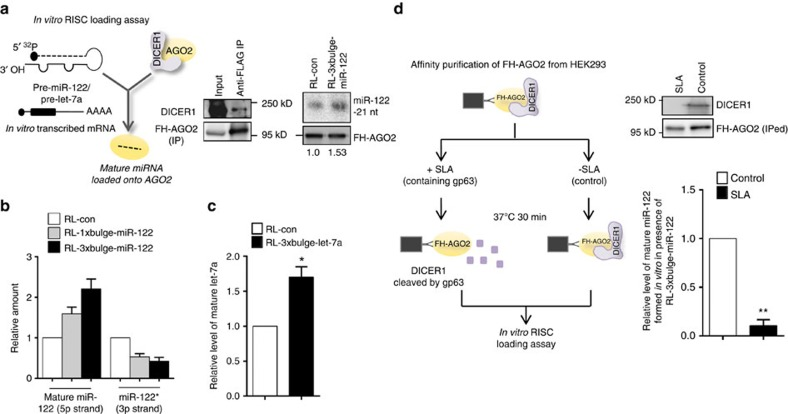 Increased activity of AGO2-associated DICER1 contributes to the target mRNA-driven miRNA production. ( a – c ) Increased DICER1 activity in the presence of target mRNA contributes to enhanced miRNA production from pre-miRNA in vitro. Scheme of the in vitro RISC loading assay has been depicted in the upper panel. Immunoprecipitated FH-AGO2 isolated from HEK293 cells stably expressing the protein was subjected to loading assay with 10 nM pre-miR-122 and 25 ng μl −1 of respective target mRNAs. Quantification was done either by densitometry ( a ) or quantitative reverse transcriptase PCR (qRT-PCR) ( b ). The amount of mature miR-122 formed was normalized to the amount of AGO2 immunoprecipitated for quantification. Immunoprecipitation of FH-AGO2 and associated endogenous DICER1 was confirmed by western blotting. Increased DICER1 activity in the presence of target mRNA RL-3 × bulge-let-7a contributes to enhanced miRNA production from pre-let-7a in vitro ( c ). ( d ) Removal of AGO2-associated DICER1 impairs target-driven miRNA biogenesis. Scheme of experiment has been shown. Lysate of FH-AGO2-stable HEK293 cells were treated with SLA and FH-AGO2 were immunoprecipitated for in vitro loading assay. Quantification was done by qRT-PCR. Paired two-tailed Student's t -tests were used for all comparisons. * P