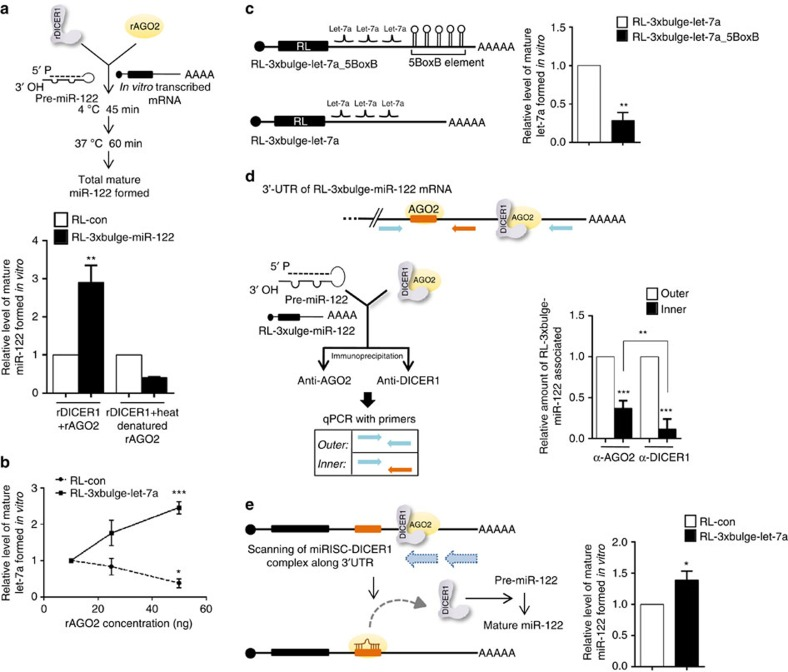 Increased processivity of AGO2-associated DICER1 in the presence of target mRNA. ( a ) In vitro pre-miRNA processing assay with rAGO2 and rDICER1 reconfirmed target mRNA-driven increase in AGO2-associated DICER1 activity. In vitro pre-miRNA processing assay with rDICER1 and rAGO2 (native or heat-denatured) to quantify miR-122 biogenesis in the presence of target mRNA. Heat denaturation of rAGO2 was carried out at 95 °C for 5 min followed by rapid chilling. ( b ) In vitro pre-miRNA processing assay of pre-let-7a with rDICER1 and increasing concentrations of rAGO2 (10, 25 and 50 ng) in the presence of RL-con or RL-3 × bulge-let-7a (25 ng ml −1 ). Mature let-7a levels were measured and plotted. ( c ) Schematic representation of RL-3 × bulge-let-7a_5BoxB mRNA used in the in vitro assays. In vitro pre-miRNA processing assay of pre-let-7a with rDICER1 and 50 ng rAGO2 in the presence of RL-3 × bulge-let-7a or RL-3 × bulge-let-7a_5BoxB mRNA (both at 25 ng μl −1 ). Mature let-7a levels after the reaction were measured and plotted. ( d ) In vitro assay to measure the association of AGO2 and DICER1 along the 3′-UTR of target mRNAs. FH-AGO2 immunoprecipitated from HEK293 cells transiently expressing NHA-DICER1 was subjected to in vitro pre-miRNA processing assay with pre-miR-122 and RL-3 × bulge-miR-122 as described earlier, followed by immunoprecipitation of AGO2 and DICER1 with antibodies specific to endogenous proteins. Quantitative reverse transcriptase PCR (qRT-PCR) was done with indicated primers. ( e ) In vitro assay to measure processivity of DICER1. Immunopurified AGO2 (let-7a miRISC) incubated with 25 ng ml −1 RL-con or RL-3 × bulge-let-7a in the presence of pre-miR-122 (10 nM) at 37 °C for 30 min followed by RNA isolation and quantification of mature miR-122 formed by qRT-PCR. Paired two-tailed Student's t -tests were used for all comparisons. * P