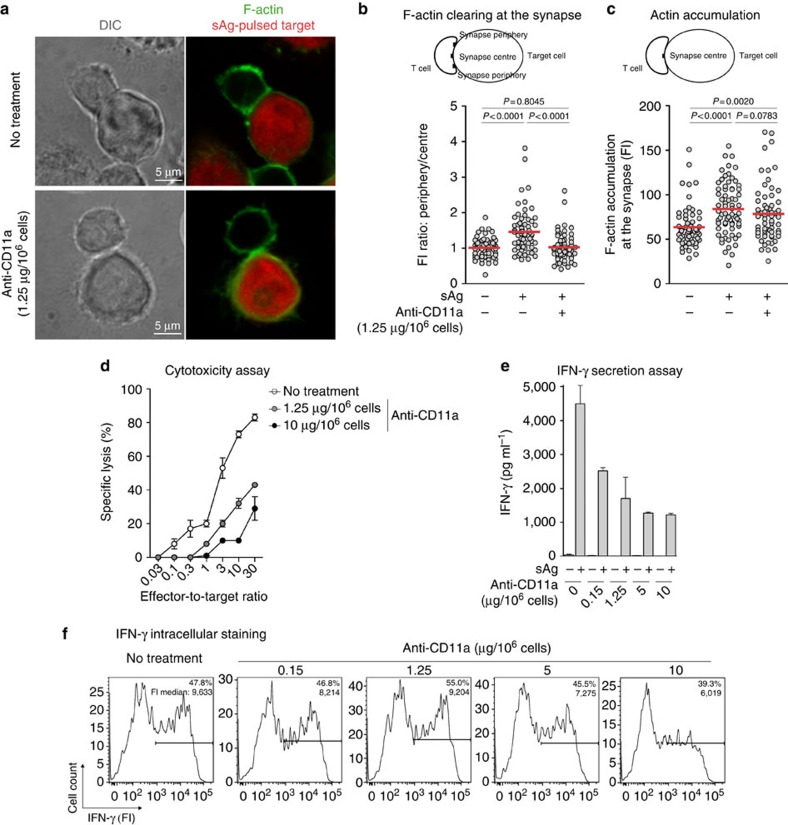IFN-γ secretion and cytotoxicity depend on LFA-1 function. Blood CD8 T cells from non-cancerous donors LB2050 ( a – c ) and LB554 ( d – f ), LB554 were treated with an anti-CD11a blocking antibody at the indicated doses. ( a ) T cells were conjugated with sAg-pulsed EBV-B cells, previously loaded with CMTMR (red). After 25min, cells were stained for F-actin (green). Scale bars, 5μm. ( b ) Actin clearing at the synapse centre was evaluated by comparing fluorescence intensities (FI) at the synapse periphery and the synapse centre. ( c ) F-actin accumulation was evaluated by measuring FI at the synapse centre. ( b , c ) Each dot corresponds to a T-cell-target conjugate;  n > 60; Mann–Whitney  U  test. ( d ) Target cells were  51 Cr-labelled and incubated with treated T cells at the indicated ratio. Chromium release was measured after 4h of coculture. Data represent the mean±s.d. of triplicates. ( e ) After 20h of coculture, IFN-γ secretion was analysed by enzyme-linked immunosorbent assay (ELISA). Data represent the mean±s.d. of triplicates. ( f ) After 20h of coculture in the presence of brefeldin A, cells were stained for intracellular IFN-γ. Per cent of IFN-γ +  T cells and FI medians of the positive subsets are indicated. Results are from one ( a – c ), two ( d ) and four ( e , f ) independent experiments. DIC, differential interference contrast.
