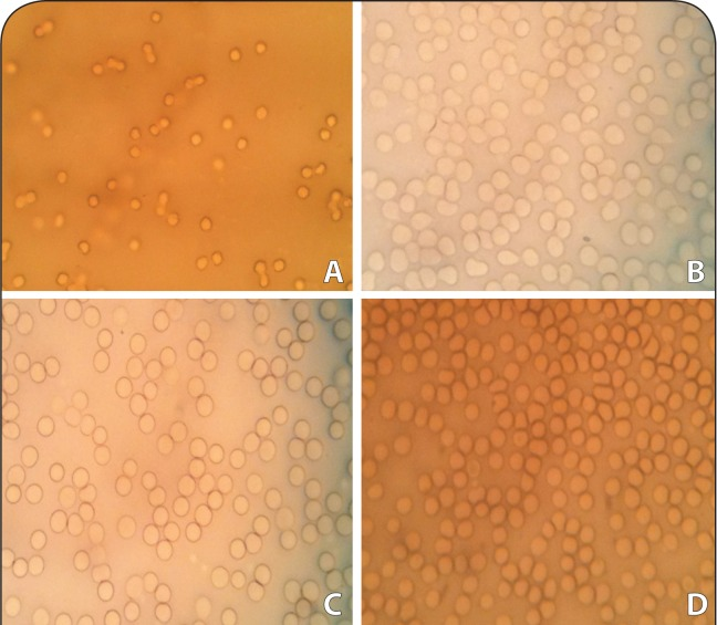 Photomicrographs (G×40) showing morphology of erythrocytes in the absence and presence of damascenine: (A) positive control cells incubated with 1% Triton-X100; (B) vehicle cells incubated with 10% DMSO; (C) cells incubated with 250 μg/ml of DA; (D) cells incubated with 1000 μg/ml of DA.