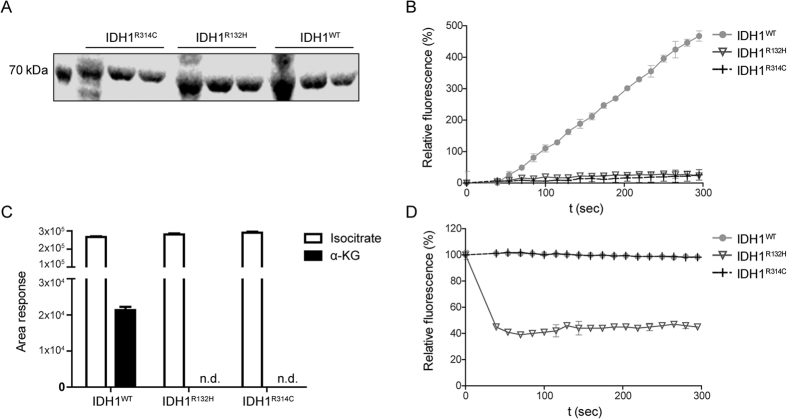 Homodimeric IDH1 R314C -GST is defective in the isocitrate-to α-KG reaction and does not produce D-2-HG. ( A ) SDS-page gel stained with coomassie brilliant blue showing expression of purified IDH1-GST constructs. ( B ) Fluorescent monitoring of NADPH formation at 340 nm shows that only purified IDH1 WT -GST is capable to convert isocitrate to α-KG under the reaction conditions tested, whereas IDH1 R132H -GST and IDH1 R314C -GST are inactive. ( C ) α-KG production by IDH1-GST enzymes was measured with LC-MS. Note that only IDH1 WT -GST is capable of isocitrate-to-α-KG conversion. (n.d. = non detectable, area