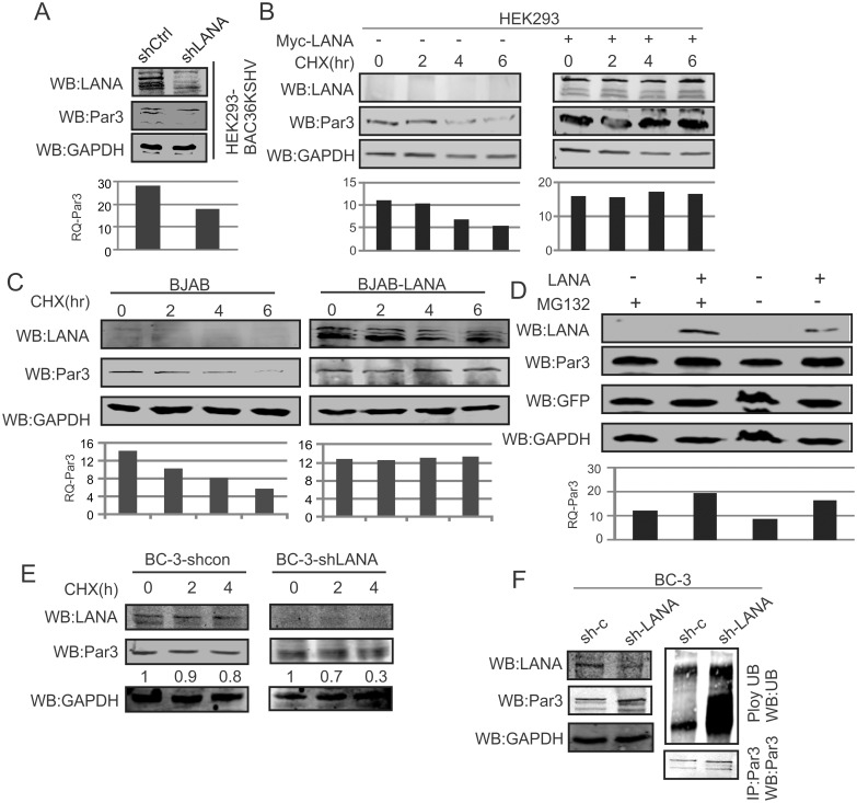 LANA stabilizes Par3 in KSHV positive cells. (A) HEK-293-BAC-KSHV cells were transfected with sh-LANA and sh-Control. Endogenous Par3 expression was measured and presented in graph. GAPDH was used as a protein loading control. (B, C) Stabilization of Par3 was examined with <t>cyclohexamide</t> in HEK-293 and BJAB cells. Left panels and right panels were used as vector control and LANA expression, in a time dependent manner. (D) The proteosome inhibitor MG132 was used to determine if Par3 stability was linked to the proteosome degradation pathway. GFP and GAPDH were used as transfection and endogenous protein loading controls. (E) BC-3-shControl and BC-3-shLANA cells were treated with cyclohexamide and observed Par3 endogenous on hours dependent manner. (F) BC-3-shControl and BC-3shLANA cells were treated with MG132 and followed immunoprecipitation of Par3. Endogenous ubiquitin and Par3 were detected using specific antibodies in both the cell lines. GAPDH was monitored as an internal control for loading in the input section.