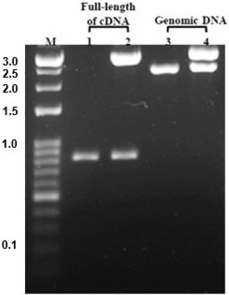 Agarose gel electrophoresis (1.2%) of the pGEM-T/CTRL-1 cDNA and pGEM-T/CTRL-1 genomic DNA after EcoR I digestion. M: 100-bp size marker; lane 1: full-length CTRL-1 cDNA PCR product; lane 2: pGEM-T/CTRL-1 cDNA; lane 3: CTRL-1 genomic DNA PCR product; lane 4: pGEM-T/CTRL-1 genomic DNA.