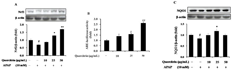 Up-regulation of nuclear factor E2-related factor 2 (Nrf2)/antioxidant response element (ARE)-mediated phase II detoxifying enzyme in APAP-treated HepG2 cells. ( A ) Effect of quercitrin on protein expression of Nrf2; ( B ) Effect of quercitrin on ARE-luciferase activity; ( C ) Effect of quercitrin on protein level of quinone oxidoreductase 1 (NQO1). Luciferase activity was normalized with total protein content and expressed as fold induction of normal control. Protein expression levels were normalized with β-actin. All data represent means ± SD of at least three independent experiments. Significant differences were ( ## ) p