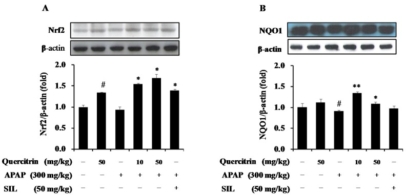 Effects of quercitrin on expressions of Nrf2 and NQO1 in APAP intoxicated mice. The protein levels of Nrf2 ( A ) and NQO1 ( B ) were measured by Western blot analysis as described in Materials and Methods section. Protein expression levels were normalized with β-actin. All data represent means ± SD of five mice in each group. Significant differences were ( # ) p
